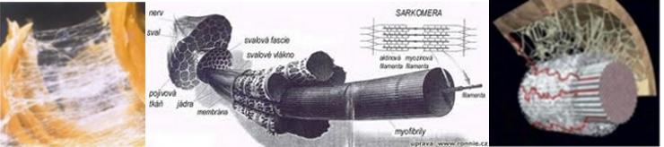 Pojivové tkáně - fascie